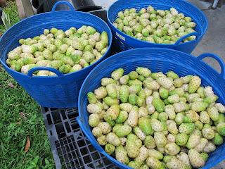 Noni fruit is used in folk medicine of polynesian