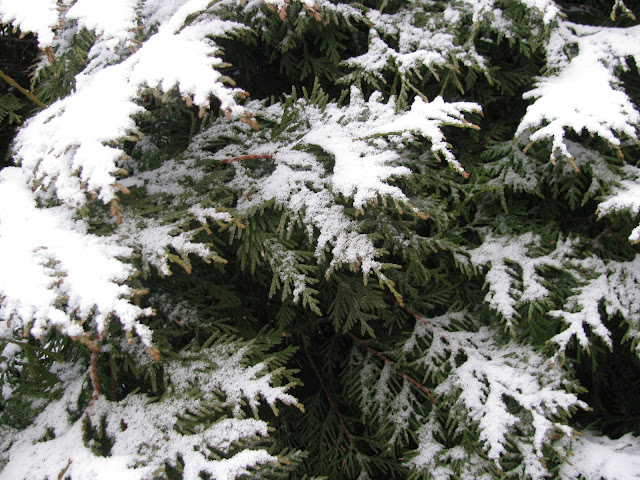 Thuja-and-Snow-in-Farmingdale,NY