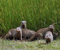 Vanmorgen in de motregen groene meerkatten en zebra-mangoesten aan de ontbijttafel gehad.