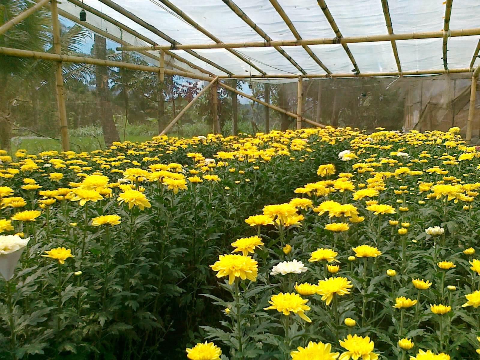 bunga krisan | bunga seruni | budidaya | jual bunga tanaman hias