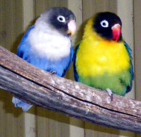 African lovebirds images funny animal