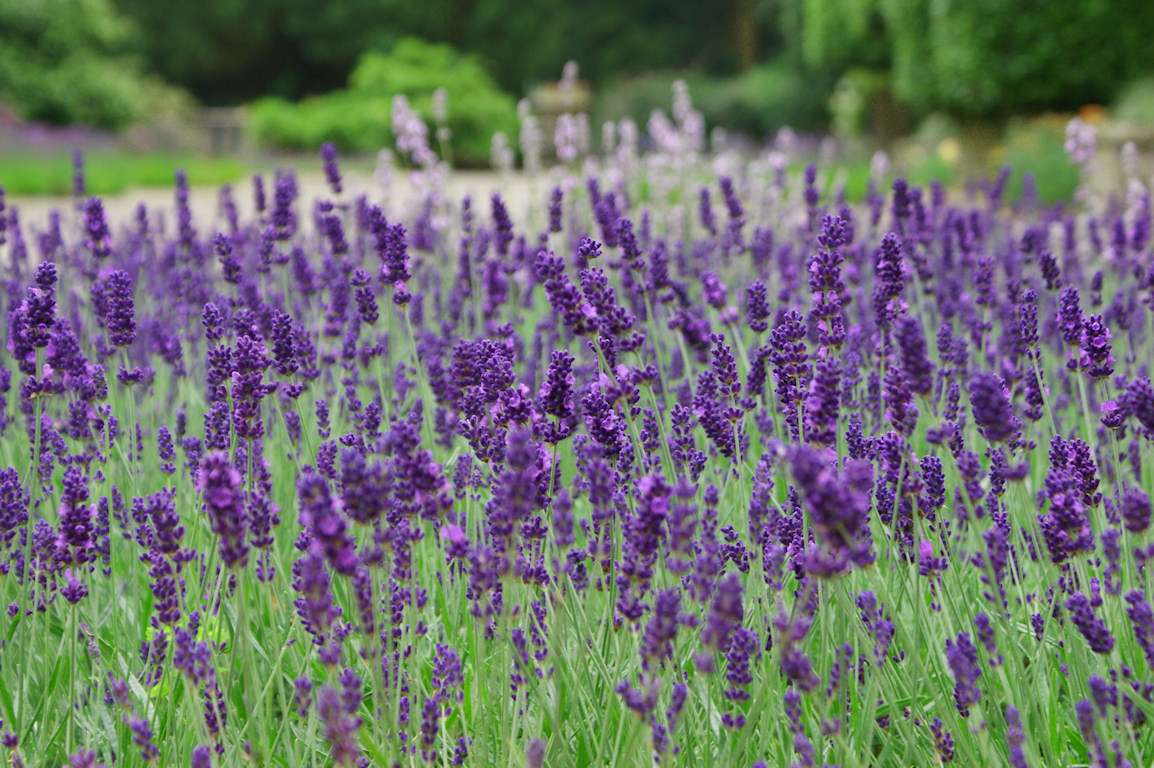 Http Flow Dreams Blogspot Com 2014 03 Lavender Flower Wallpaper Html