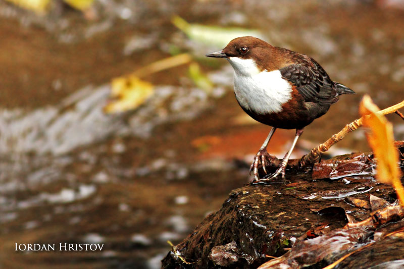 Dipper photography in Bulgaria by Iordan Hristov