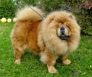 brown chow chow walking on the grass photo