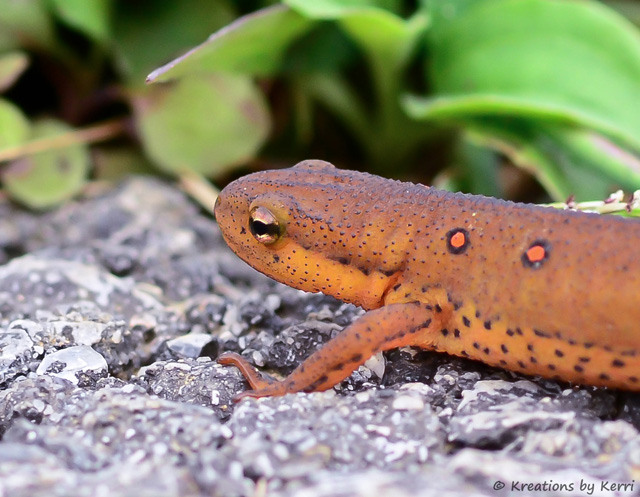 Red-spotted Newt Close-up