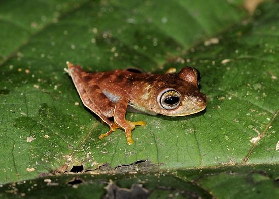Fakta Menarik | Katak Koboi | Spesies Baru Katak Ditemui di Surinam
