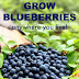 You Can Grow Blueberries No Matter Where You Live