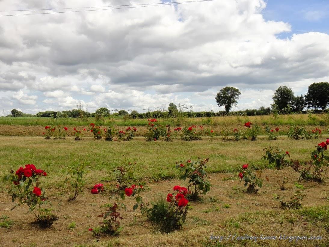 champ de roses