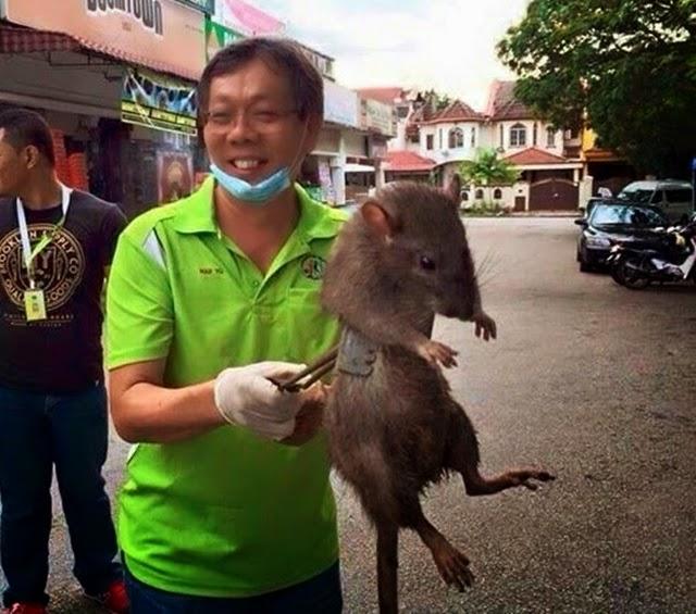 tikus raksaksa berjaya ditangkap di subang jaya