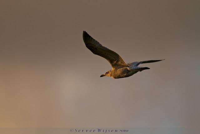 Kleine Mantelmeeuw - Lesser Black-backed Gull - Larus fuscus graellsii