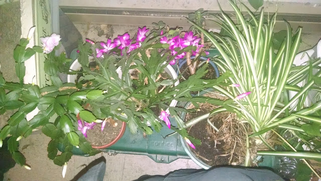 Christmas Cactus November 9 Happy Birthday Aunt A