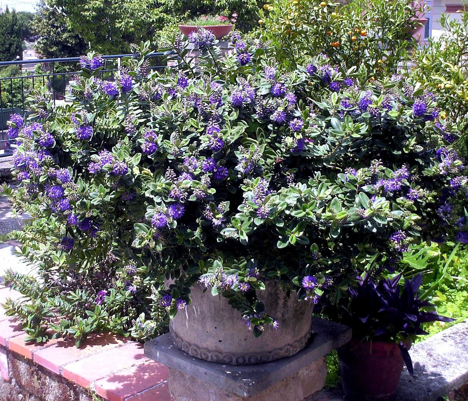 Fiori piante e giardini del mondo piante perenni veronica for Piante da giardino perenni