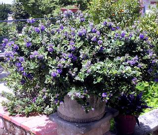 Fiori piante e giardini del mondo piante perenni veronica for Piante ricadenti perenni