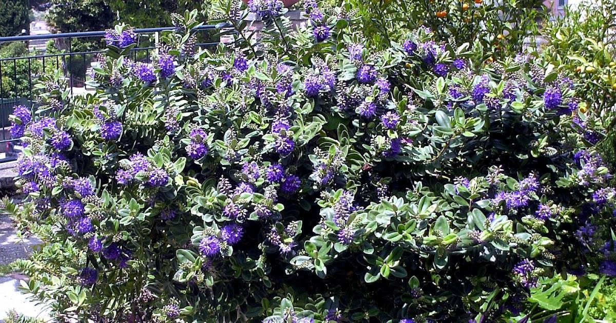 Fiori piante e giardini del mondo piante perenni veronica for Piante e giardini