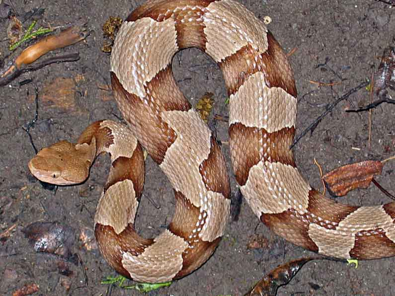 Copperhead Snake Page