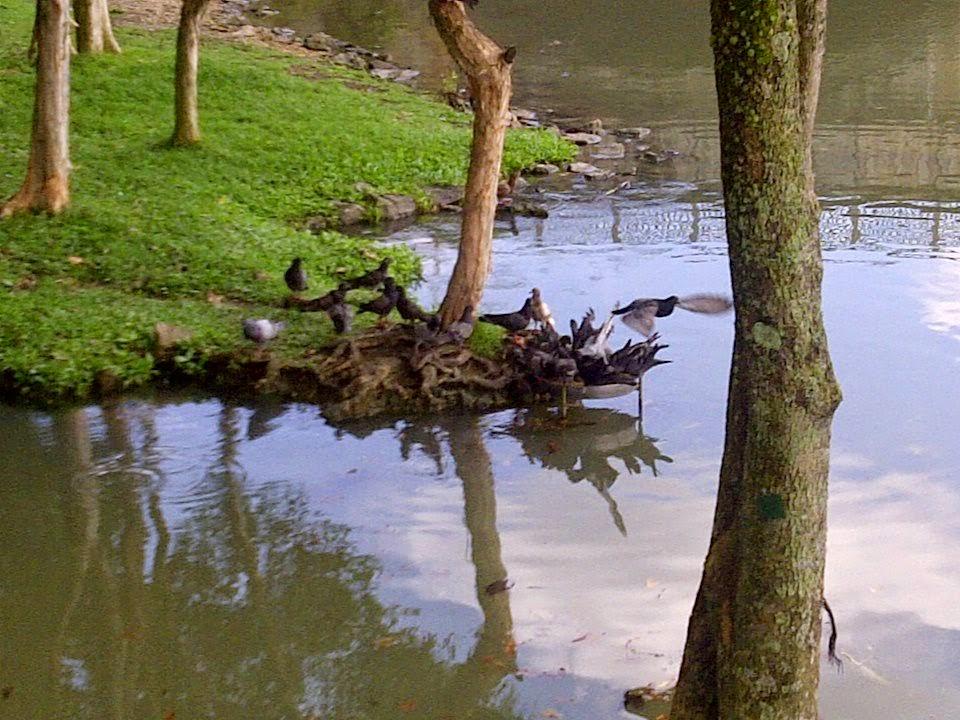 putrajaya wetlands, putrajaya picnic, putrajaya birds, putrajaya lake, putrajya malaysia, local birds, water birds,migratory birds,Marshaland birds, Little Egret, Little Green Heron, Cinnamon Bittern