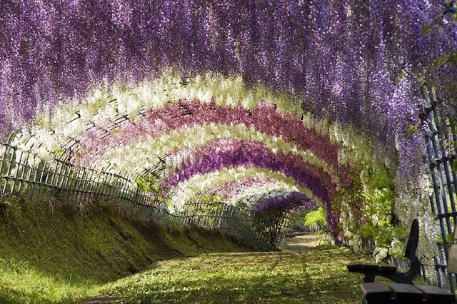 Wisteria Flower Tunnel in Japan