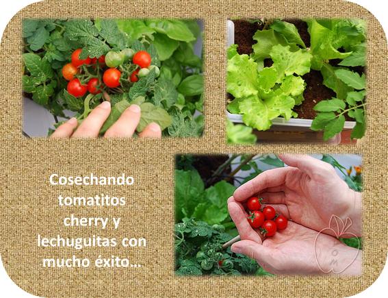 Huerteros el balcon verde - Tomates cherry en maceta ...