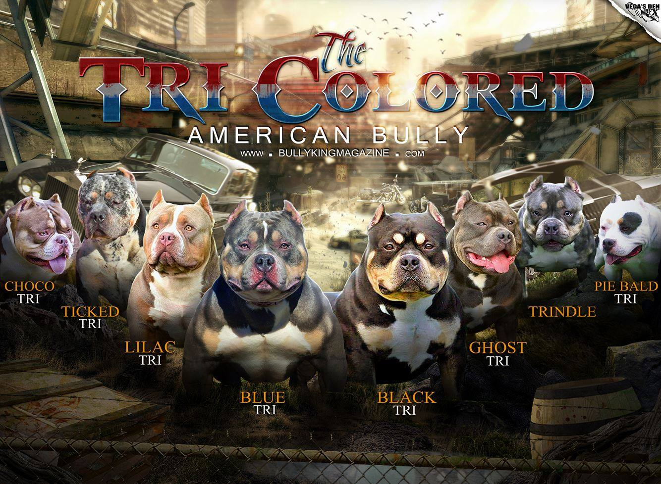 American bully color chart tri color variations nvjuhfo Images