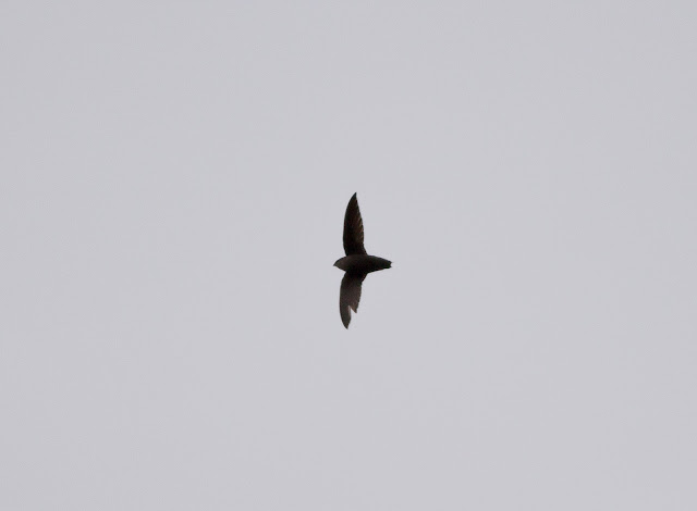 Chimney Swift - Central Park, New York