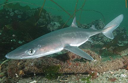 spiny dogfish dog fish 432x281
