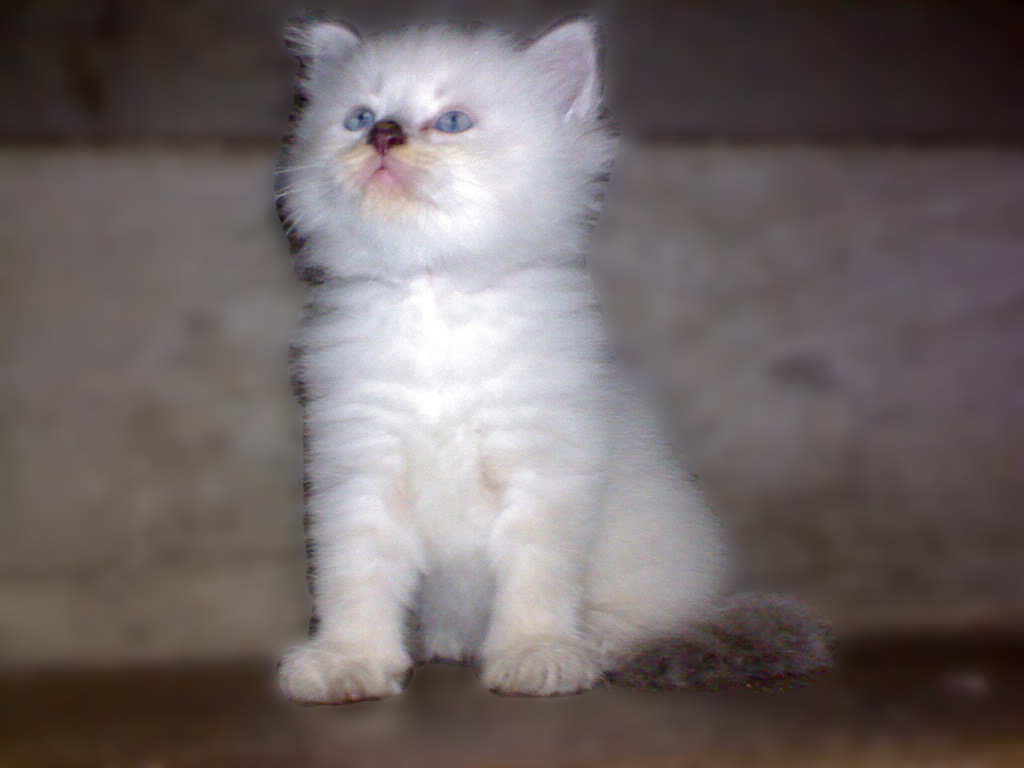 How to take care of my persian cat