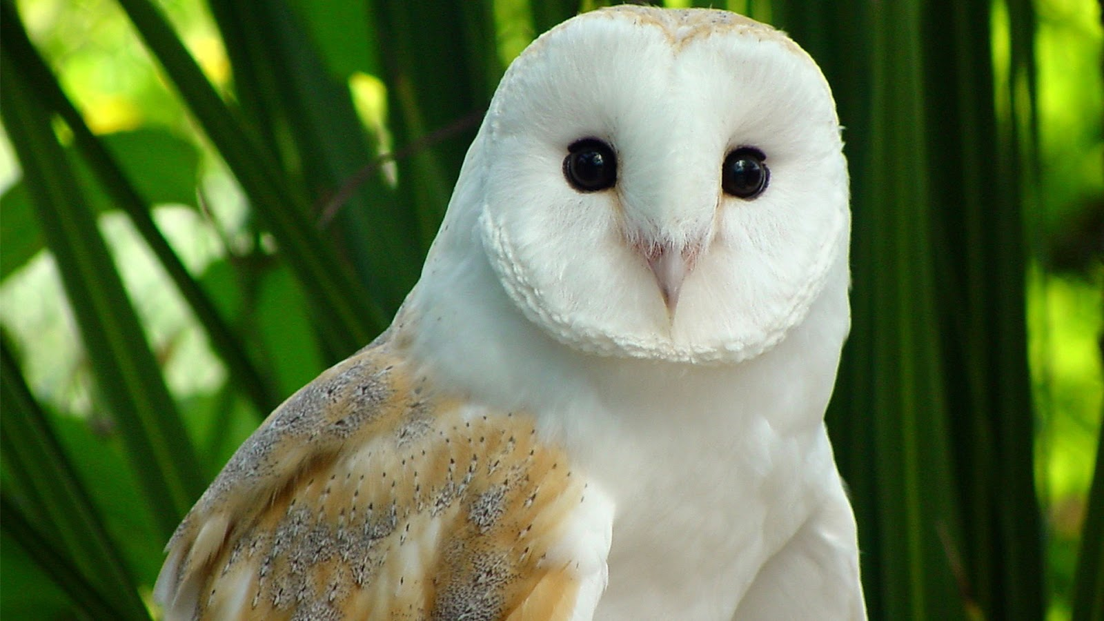 Barn Owl Hd Wallpapers High Definition Free Background