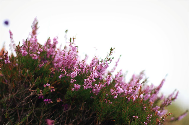 heather flowers in the grass