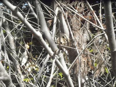ドロバチの巣