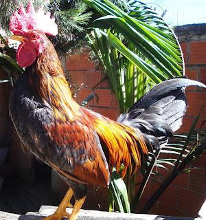 gallos colombianos disponibles 2016, próximo año nuevas crías de gallos finos y nuevas razas