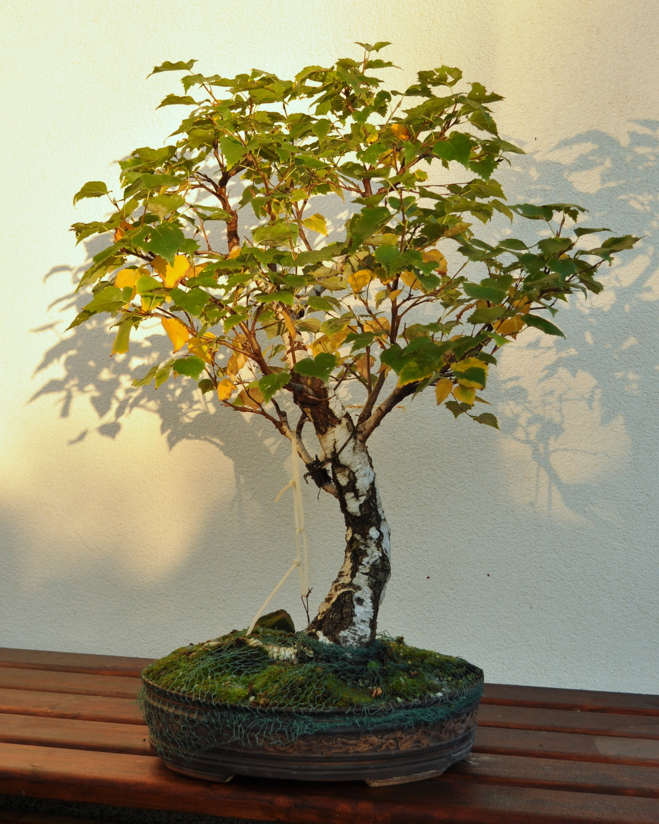 Maros Bonsai Blog Birch No1 Turning Yellow