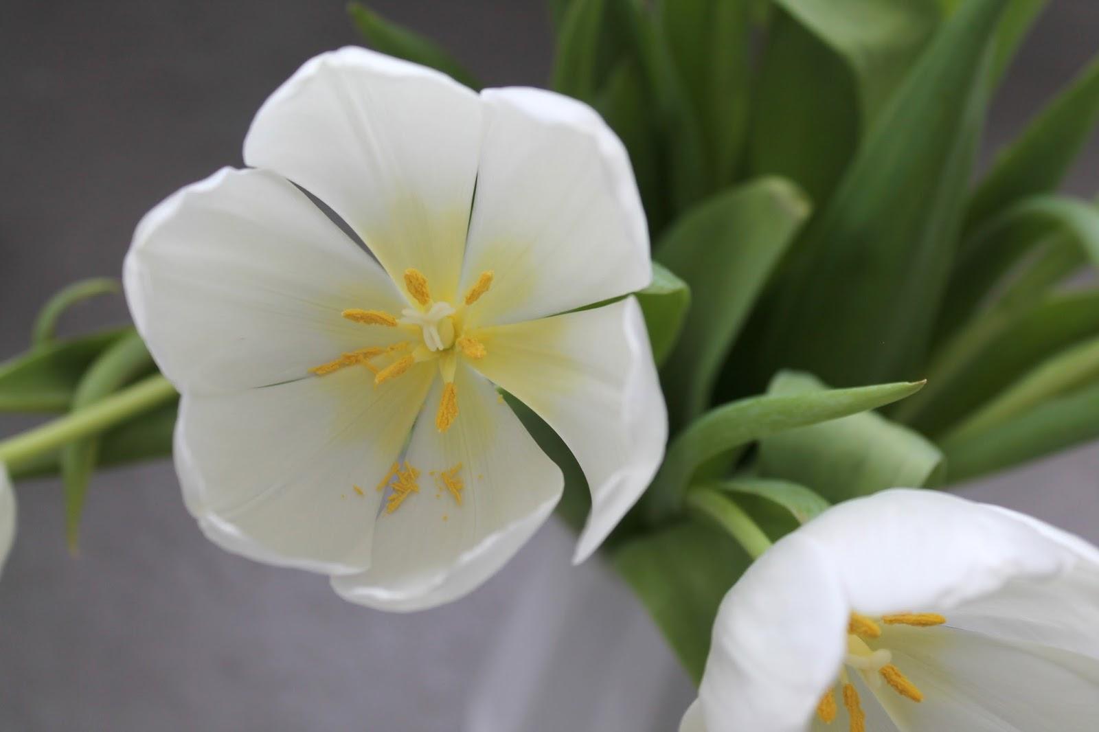 Weisse Tulpen Bluete Strauss