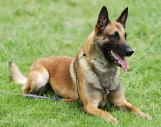 Belgian Malinois dog photos