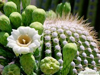 http://2.bp.blogspot.com/-Lrssme0mkkU/UqFlaa_-QZI/AAAAAAAADps/L9ohtJvHR4M/s1600/Cactus_Flowers-20147.jpg
