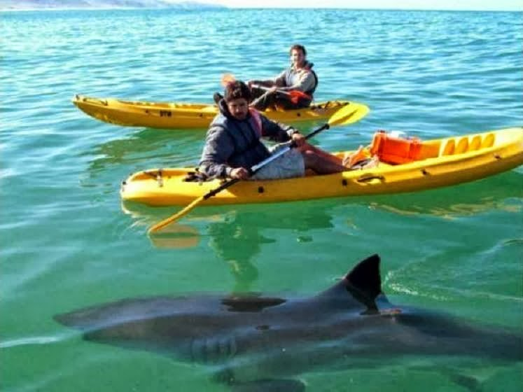 Shark Attack News Photo Kayaking With A Great White