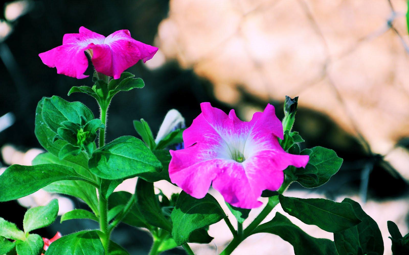 idool Las petunias de mi jardín - Flores de Primavera e Invierno ...