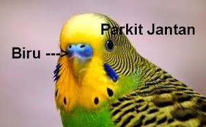 Makanan Untuk Burung Parkit