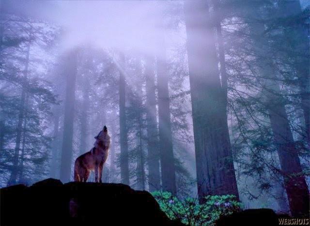 Kết quả hình ảnh cho sói