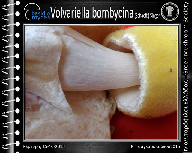 Volvariella bombycina (Schaeff.) Singer