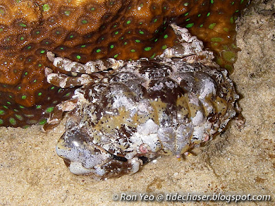 Exsculptate Rubble Crab (Euxanthus exsculptus)