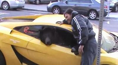 Seekor beruang naik lamborghini dan bikin macet jalanan California