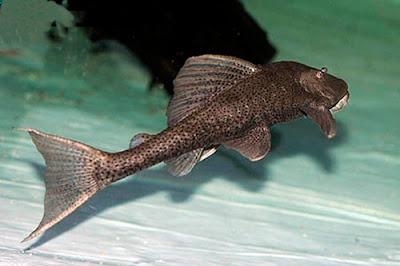 Vieja del agua Hypostomus commersoni