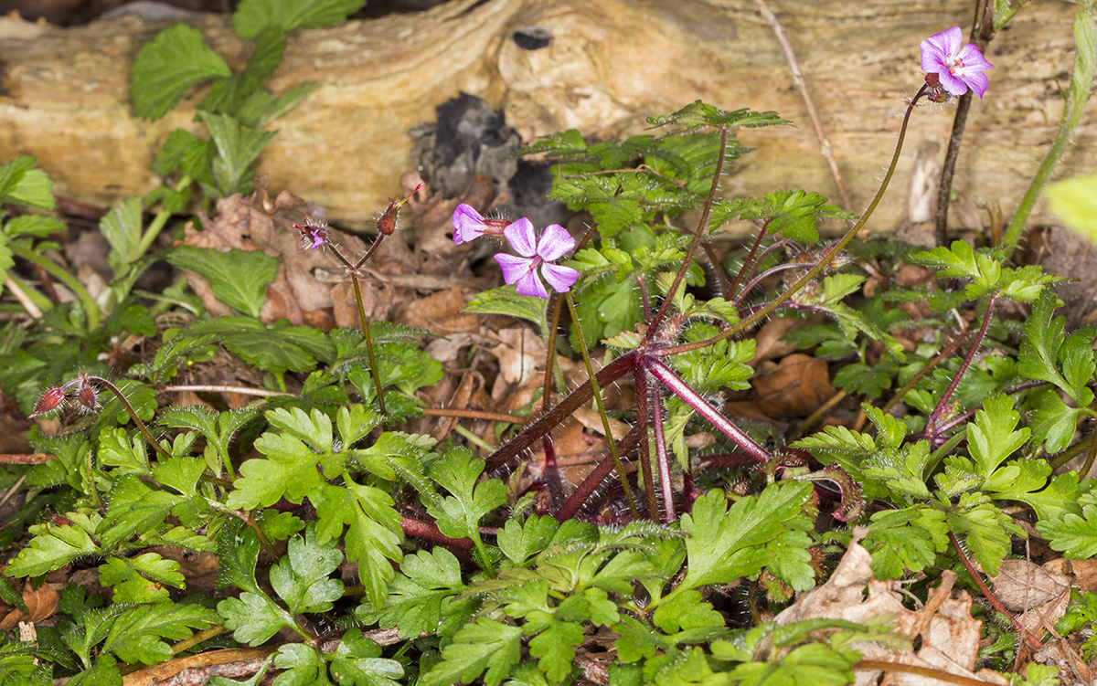 Herb Robert, Geranium robertianum.  High Elms Country Park, 21 April 2015.