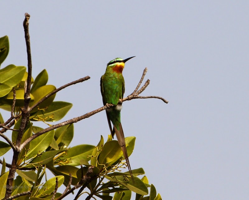 Blue-cheeked Bee Eater in the Gambia