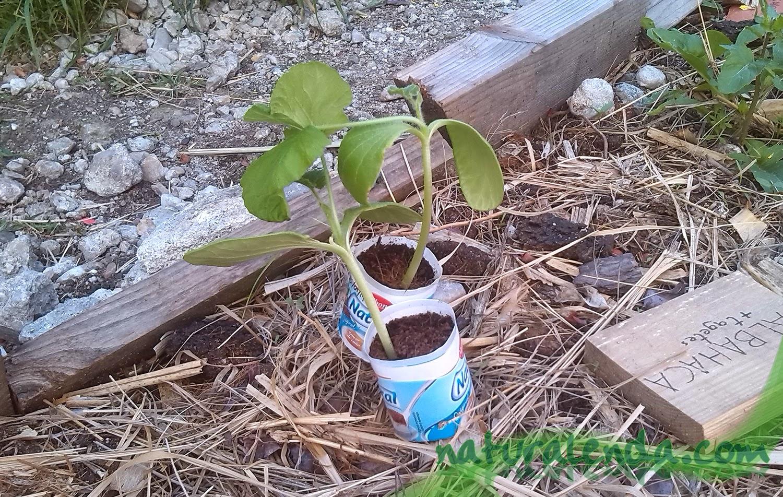 semillero de calabaza