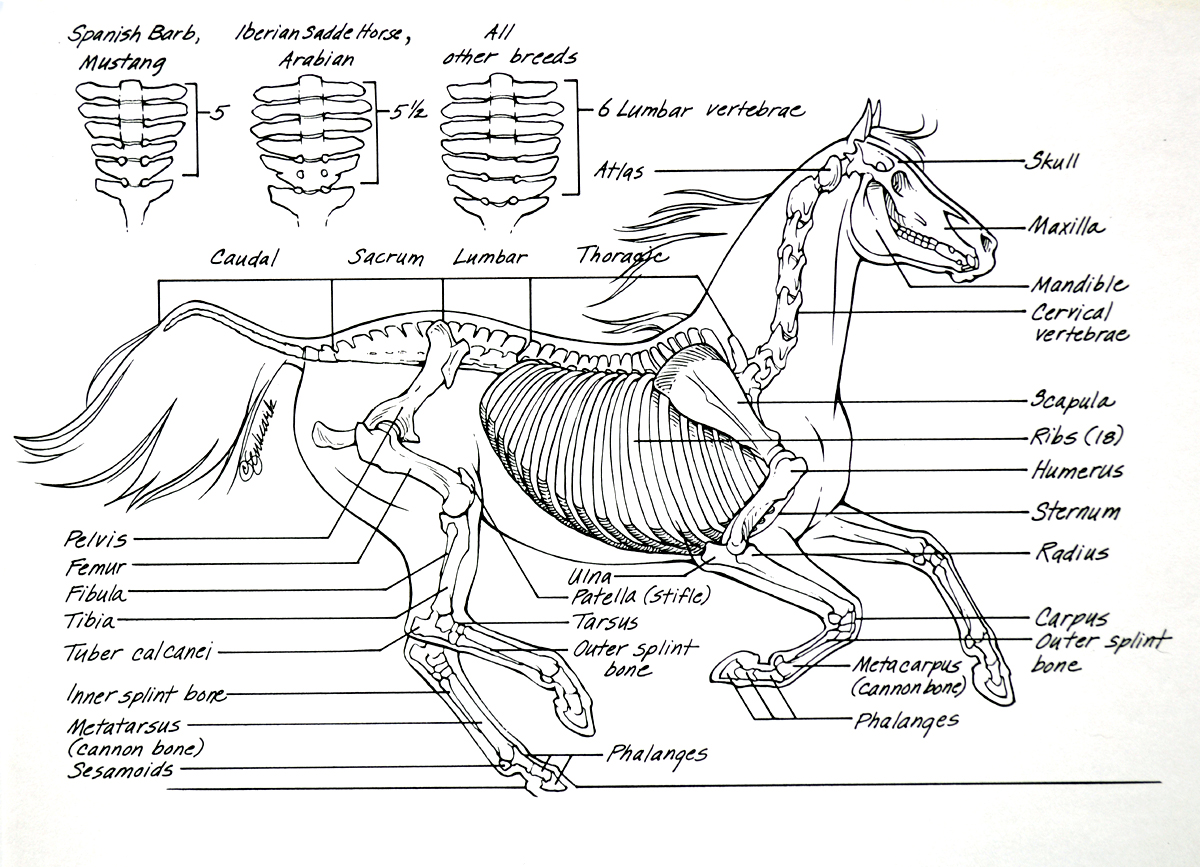 Tips on how to ride!: Horse Anatomy 4-9-2013