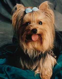 Anjing Yorkshire Terriers