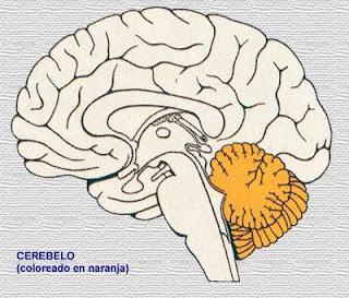 Cerebelo y biologia
