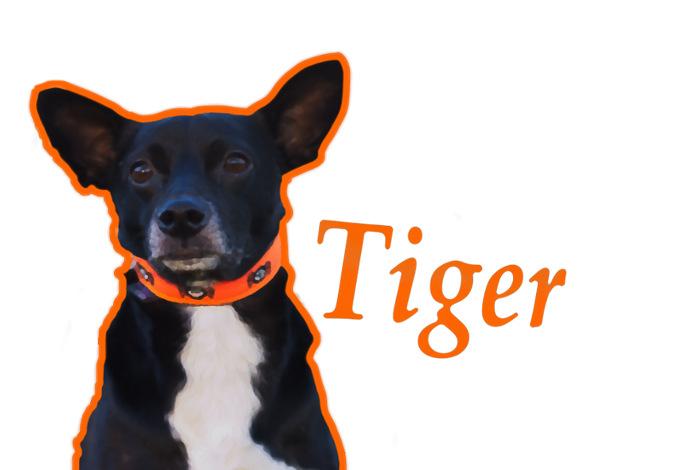 Tiger-prawie basenji