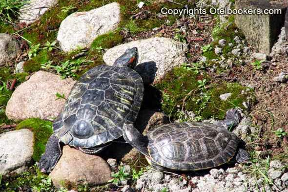 Red-eared tortoises basking in the sun!